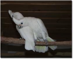 Goffin-Kakadu